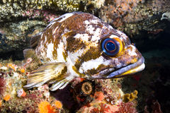 Copper rockfish Royalty Free Stock Images