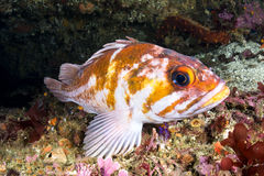 Copper rockfish Stock Photos