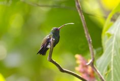 Copper-rumped Hummingbird stock photo