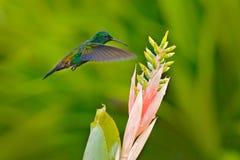 Copper-rumped hummingbird, Amazilia tobaci, flying bird wuth pink flower bloom, Trinidad and Tobago. Hummingbird from Caribbean. royalty free stock photography