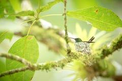 Copper-rumped hummingbird Amazilia tobaci sitting on nest on branch, caribean tropical forest, Trinidad and Tobago. Natural habitat, nesting hummingbird, green royalty free stock photos