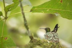 Copper-rumped hummingbird Amazilia tobaci sitting on nest on branch, caribean tropical forest, Trinidad and Tobago. Natural habitat, nesting hummingbird, green stock photography
