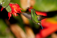 Copper-rumped Hummingbird 3 royalty free stock photography