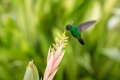Copper-rumped Hummingbird hovering next to pink flower, bird in flight, caribean tropical forest, Trinidad and Tobago royalty free stock images