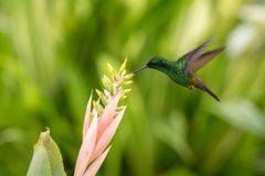 Copper-rumped Hummingbird hovering next to pink flower, bird in flight, caribean tropical forest, Trinidad and Tobago royalty free stock photo