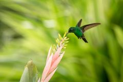 Copper-rumped Hummingbird hovering next to pink flower, bird in flight, caribean tropical forest, Trinidad and Tobago, natural hab stock images