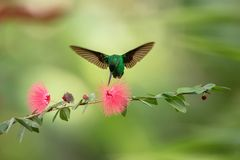 Copper-rumped Hummingbird hovering next to pink mimosa flower, bird in flight, caribean tropical forest, Trinidad and Tobago stock image