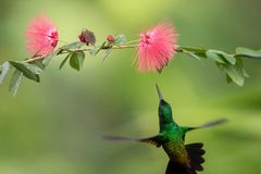 Copper-rumped Hummingbird hovering next to pink mimosa flower, bird in flight, caribean tropical forest, Trinidad and Tobago stock photos