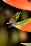 Copper-rumped Hummingbird 2. Perched on a Heliconia on alert ready to suckle in Venezuela Royalty Free Stock Photo