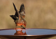 Copper's Glow. Small Sparrow with reflection as it takes a drink. The copper plated birdbath as given this one a special glow stock images