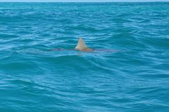 Copper shark at the surface stock images