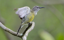 Copper Throated Sunbird. Female Copper Throated Sunbird standing on a wood Stock Photography