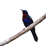 Copper throated Sunbird Royalty Free Stock Image