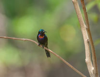 Copper-throated sunbird. Looking for something Stock Image