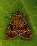 The Copper Underwing, Amphipyra pyramidea Stock Photos