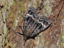 Copper Underwing Moth Royalty Free Stock Photo
