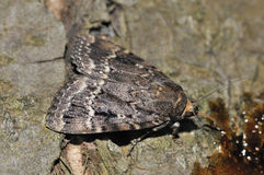 Copper Underwing Moth Royalty Free Stock Image