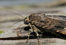 Copper Underwing Moth Stock Images