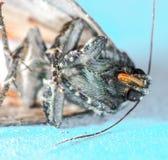 Copper Underwing moth, Amphipyra pyramidea Stock Image