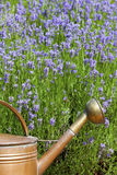 Copper Watering Can in front of lavender in summer Royalty Free Stock Image