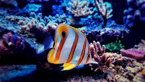 Copperband蝴蝶鱼在珊瑚礁水族馆坦克游泳 免版税库存照片
