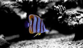 Copperband蝴蝶鱼在珊瑚礁水族馆坦克游泳 库存图片