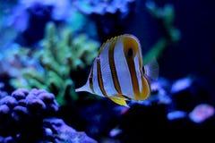 Copperband蝴蝶鱼在珊瑚礁水族馆坦克游泳 图库摄影