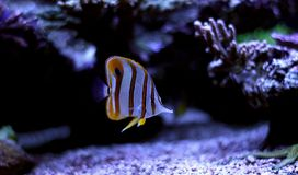 Copperband蝴蝶鱼在珊瑚礁水族馆坦克游泳 免版税库存图片