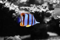 Copperband蝴蝶鱼在珊瑚礁水族馆坦克游泳 库存照片