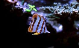 Copperband蝴蝶鱼在珊瑚礁水族馆坦克游泳 免版税图库摄影