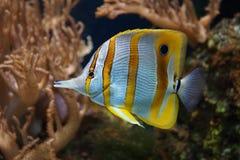 Copperband蝴蝶鱼- Chelmon rostratus 免版税库存图片