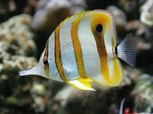 Copperband Basisrecheneinheits-Fische 3 Lizenzfreie Stockfotografie
