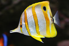 Copperband butterfly. A beautiful tropical coral fish. Kupferstreifen-Pinzettfisch (Chelmon rostratus stock photography