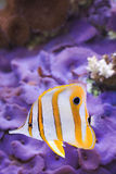 Copperband Butterfly Chelmon rostratus. Copperband Butterfly fish swims over blue Actinodiscus Mushrooms Royalty Free Stock Image