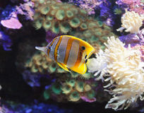 Copperband Butterfly Fish 1 Stock Photos