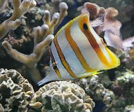 Copperband Butterfly Fish 2 Royalty Free Stock Photos