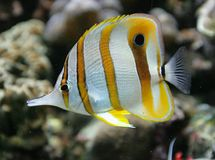 Copperband Butterfly Fish 3 Royalty Free Stock Photography