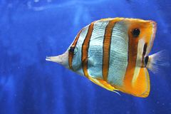 Copperband Butterfly Fish. Multicolored Copperband Butterfly Fish on blue background royalty free stock image