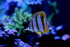 Copperband butterfly fish swim in coral reef aquarium tank. Copperband butterfly fish enjoy in coral reef aquarium tank stock photography
