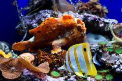 Copperband butterfly fish and a frog fish Stock Photo