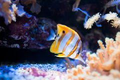 Copperband Butterflyfish. (lat. Chelmon rostratus) swimming in a fishtank stock photo