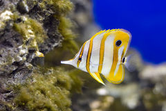 Copperband Butterflyfish Stock Images