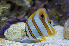 Copperband Butterflyfish Stock Photography