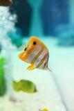 Copperband Butterflyfish Zdjęcia Stock