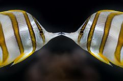 Copperband butterflyfish Stockbild