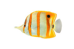 Copperband Butterflyfish Στοκ Εικόνες