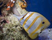 Copperband Butterflyfish Zdjęcie Royalty Free