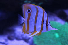 Copperband butterflyfish (Chelmon rostratus), beautiful yellow white fish in the tank stock photo