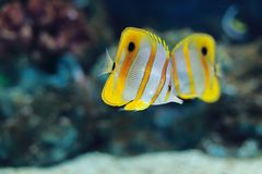 Copperband butterflyfish Stock Image