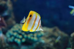 Copperband butterflyfish Stock Photo